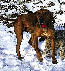Coonhounden Ben som är av rasen Treeing Walker och en åttondels blodhund har visat sig fungera på nordiska lodjur.