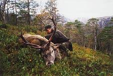 En hjort i brunst har nedsmutsad buk, vilket Lars Gangås tar hänsyn till vid urtagningen.