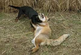 Varje räv som fälls får en omskakning av Tessa