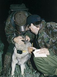 För några år sedan var det förbjudet, men numera släpps sällan en älghund på jaktprov utan pejlhalsband.