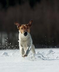 Dio i full frihet utstrålar både styrka och beslutsamhet. En hund med suverän jaktlust och rovdjursskärpa.