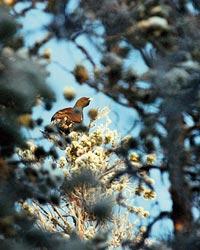 De senaste åren har bjudit på god tillgång på skogsfågel i Västerbottens inland