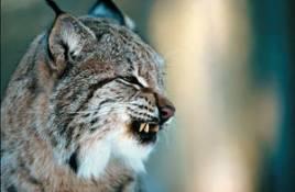 En miss vid Naturvårdsverket gör att jägare i södra Sverige kan avliva lodjur som fångas i rävfällor under mars månad. Under förutsättning att man har registrerat sig som lodjursjägare.