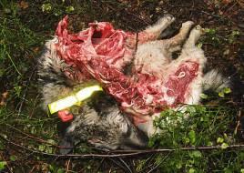 Gråhundstik J Elfåsens Mixa S13106/2007 A dödades av varg söder om Trollhättan