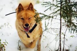 Chili söker snabbt och effektivt. Hon påminner lite om en slalomåkare när han passerar på jakt efter färska fågellöpor.