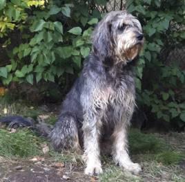 Trästabos Coffee är den andra vildsvinshunden i Sverige som fixat ett RR-prov.