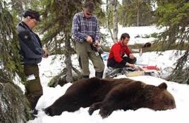 Björnens predation på renkalvar är större än man trott och ersättningarna står inte i proportion till skadorna