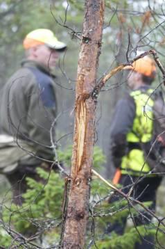 Skogsbruket vill få snabb skyddsjakt på älg om jägarna inte lyckas fälla sin tilldelning. Foto: Holger Nilsson.