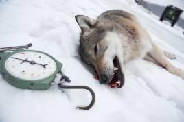 16 vargar får skjutas nu i vinter. Foto: Per Jonson