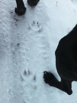 Hund eller varg? Det är frågan. Foto: Privat