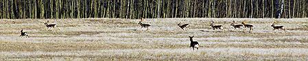 En hind ansluter till en grupp ståtliga dovhjortar. Ett eldorado för en jägare som vill skjuta en riktigt stor dovhjortstrofé.