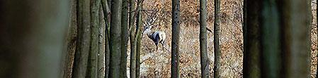 En hygglig kronhjort visar sig i passet strax följd av ett par rådjur och sedan en lång rad med vildsvin.