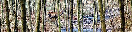 En icke skjutbar ung hjort smyger ut ur såten en stund efter att drevet börjat.