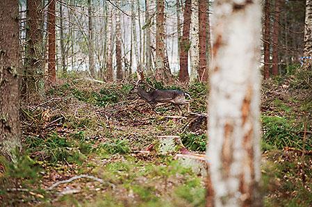 Drevdjuret, en fin liten skovel, trippar förbi oss på mindre än 50 meter.