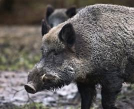 Svenska Jägareförbundet har nu en egen policy för hur vildsvinsjakten ska bedrivas. Foto: Per Jonson