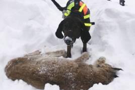 Den fällda lodjurshonan bevakad av Plotthunden Ursus. Foto: Lena Laksonen