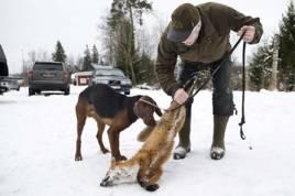 Lars Göran Jonassons schillerhanne får nosa på en av de fällda rävarna.