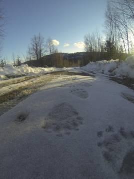 Den 28 mars hittades färska björnspår i Jämtländska Ragunda kommun. Foto: Andreas Göransson.