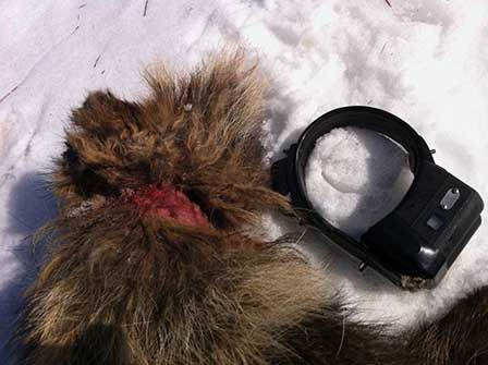 Jägarna som sköt mårdhunden kunde konstatera att Mårdhundprojektets sändarhalsband utsatt djuret för svåra skador på halsen.