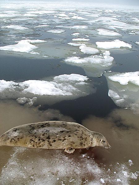 Sälarna ligger ofta mycket nära iskanten och huvudskott är i normalfallet det enda bra alternativet.
