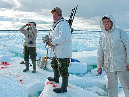 Kikarspaning är alltid en viktig del av säljakten i isen, både tidigt och sent på våren. Från vänster Roland Marklund, Eric Lindroth och skytten av den säl som lämnat blodet på isen, Gösta Marklund.