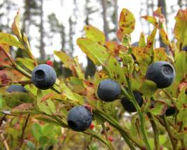 Vi kan knappast förvänta oss ett blåbärsår i år. På många håll har frosten slagit ut riset. Foto: Holger Nilsson