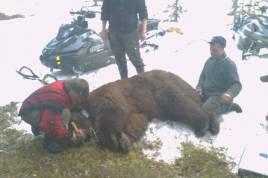 Björnhannen som nu går under namnet Amas i det skandinaviska björnprojektet, kommer väga över 350 kilo till hösten. Foto: Privat.