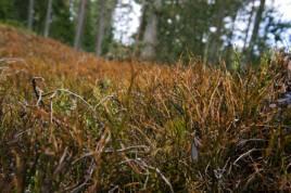 Så här ser det ut i blåbärsskogen på många håll i Sydsverige just nu. Ingen rolig syn. Foto: Lina Tengström