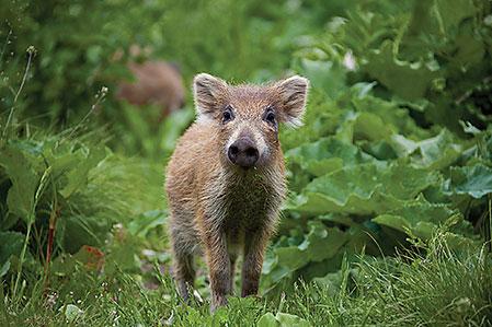 Med studsare på traktorn och fällor för kultingar har nu bönder förklarat krig mot vildsvinen.