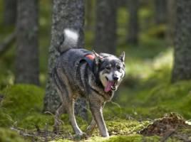 En jämthund återvänder från första sökrundan på jaktprovet. Allt fler älghundsägare satsar på att meritera sin jakthund. Foto: Per Jonson