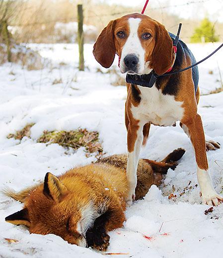 Mirja presterade som vanligt och resultatet blev en fälld räv efter en klingande drev.