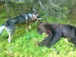 Dollarmarkens Elis är inte bara en duktig älghund, nu har han också presenterat sig som björnhund.