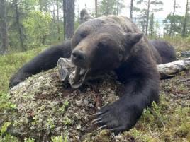 Dagens björn i Håckren är en riktig bamse med uppskattad vikt på cirka 250 kg.