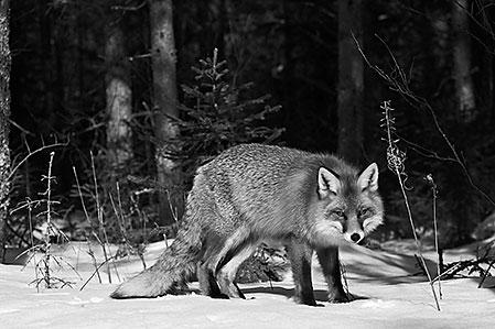 Räven har skärpt sina sinnen och smyger fram mot åteln.