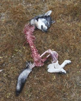 Max (Magnum) blev bara 2,5 år, dödad och uppäten av en flock vargar. Foto: Simon Gibson.