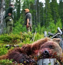 Chansen att få skjuta en björn om man jagar några enstaka dagar om året är inte speciellt stor.