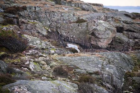 Den nästan helvita svenskharen dyker upp på klippan strax efter upptaget.