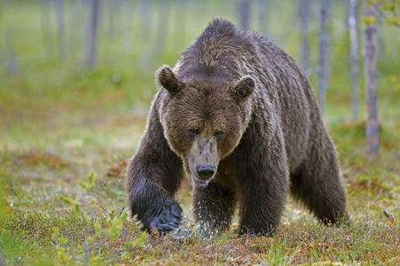 Björnjakt är ingen lek och kräver mycket av både jägare och hundar. Foto: L-G Abrahamsson