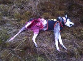 Älgskallets Aritza blev vargdödad när hon skällde gångstånd på älg norr om Gräsmark, öster om Stöpsjön. Foto: Boo Westlund.