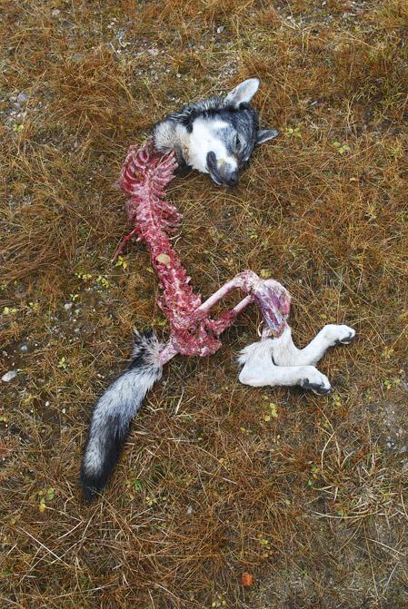 Att finna sin hund dödad och uppäten av varg, är en mardröm som fler och fler hundägara i Norden tvingas uppleva.