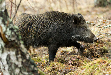 Landets vildsvinsjägare tycker om att äta vildsvinskött. Endast femton procent säljs vidare till butiker och restauranger. (Foto. Roger C Åström)