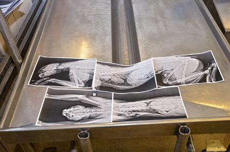 Utskrivna röntgenbilder följer med in i obduktionssalen som ett stöd i arbetet med att hitta skottvinklar.