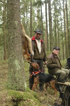 I morgon kan alla jaktsugna få chansen att jaga med en stövare. Oavsett var i Sverige man bor, kontakta bara den lokala stövarklubben. Foto: Holger Nilsson