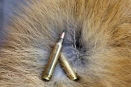 Lock på räv går nu in i sin högsäsong.