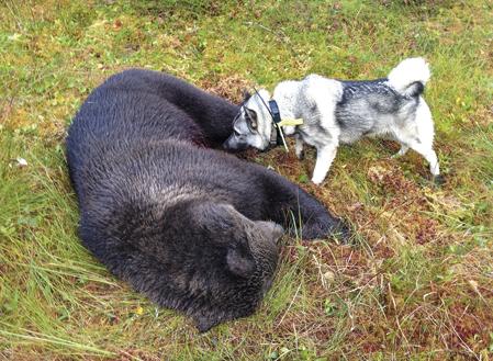 Förr blev de flesta björnar skjutna under älgjakten. I dag är björnjakten som regel slut när älgjakten börjar.