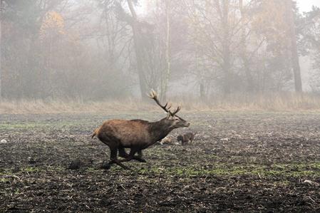 Trots att hjorten nästan springer över jakthundarna som står vid det döda vildsvinet bryr de sig inte.