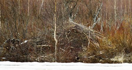 Bäverhyddan ligger hyfsat kamouflerad direkt intill kanten av Risån.