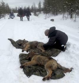 När miljöåklagare Åse Schoultz deltog i en samverkansdag med märkning av de här vargarna i Tandsjöreviret fick hon stark kritik inte minst från jägarhåll. Foto: Privat