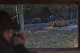 LRF Syd hoppas att nytt projekt ska bidra till ökad avskjutning av vildsvin. Foto: Per Jonson