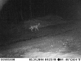 Övervakningskameran som övervakade en grävmaskin mot dieseltjuvar fotograferade detta hundliknande djur som tros vara en varg.